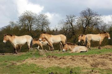 Przewalskipferde im Tierpark Sababurg