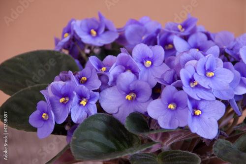 Fotobehang Pansies Violetta africana
