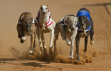 racing greyhouns
