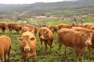 troupeau de vaches de race Limousine