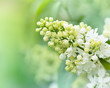 White Lilac Blossoms