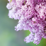 Fototapety Spring Lilac