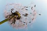 Dandelion: ready, to fly away - 41243095