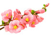 Gentle pink flowers, isolated on white background