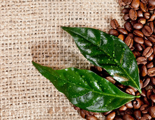 Fresh coffee beans and leaves on hessian