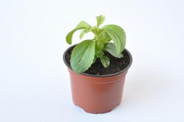 plant de stevia