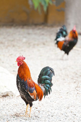 Roosters or cockerels in a yard