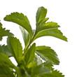 tevia Rebaudiana - édulcorant naturel, alternative au sucre