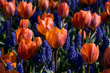 Orange tulips amongst blue grape hyacinths