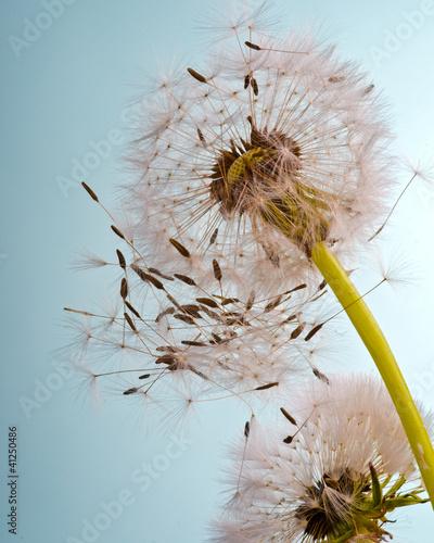 Pusteblume im Frühling .... Flugschirmchen beim Abflug