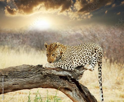Leopard 41251852