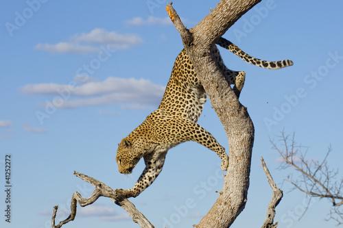 Fotobehang Luipaard Leopard climbing, South Africa