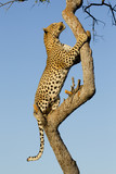 Male Leopard climbing a tree, South Africa