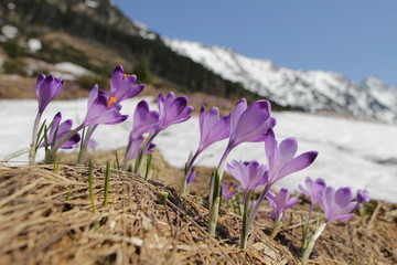 Crocus flowers on the mountain meadow