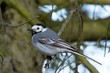 White wagtail sitting on a twig