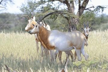 Libyan scimitar-horned oryx (Oryx addah)