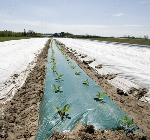 new crop of vegetable pocking out the plastic cover