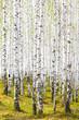 Spring in birch forest