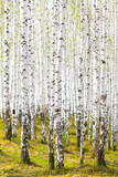 Fototapety Spring in birch forest