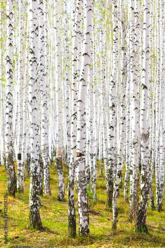 wiosna-w-brzozowym-lesie