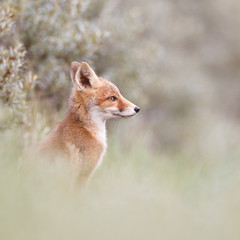 portrait of a red fox cub