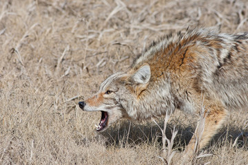 Snarling Coyote