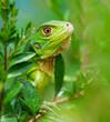 Leinwandbild Motiv Curious Iguana