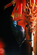 Palestine Sunbird (Nectarinia osea) male on aloe vera
