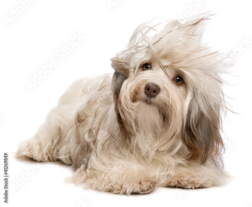 Cute lying chocolate Havanese dog in wind