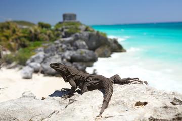 Wild iguana at Tulum ruin's