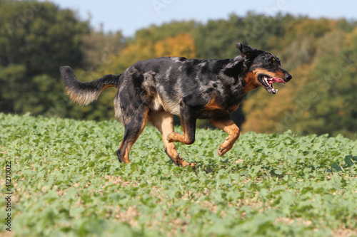 berger de beauce en course - beauceron