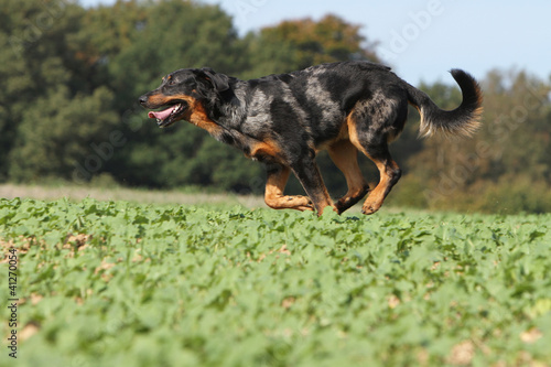 berger de Beauce aui galop - beauceron