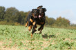 two dogs running - berger de Beauce
