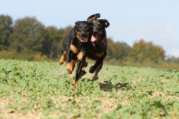 two dogs running - berger de Beauce