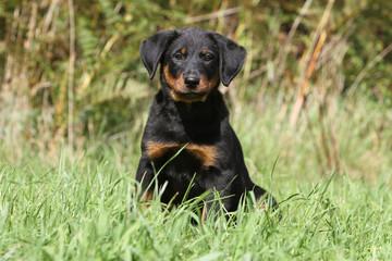 puppy dog alone - berger de Beauce