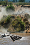 The great migration of wildebeest poster