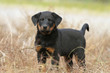 young beauceron on the field