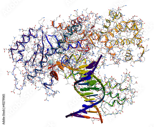 DNA polymerase I, enzyme participated in the DNA replication