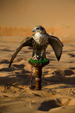 Falconry in UAE