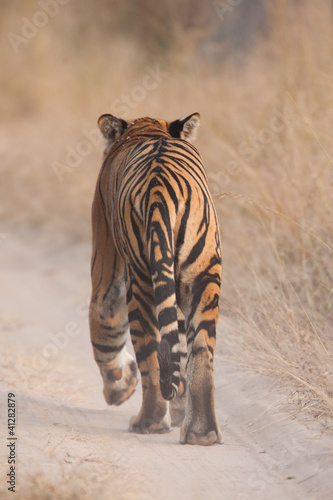 Bengal tiger walking away