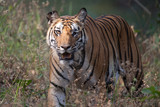 Female Bengal tiger with fight scars poster