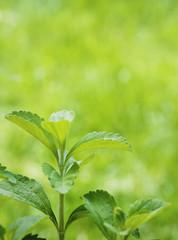 stevia rebaudiana branch close up over green