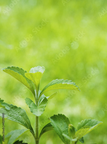 stevia rebaudiana branch close up over green
