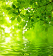 Fototapeten,blatt,grün,verzweigt,buche