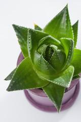 Aloe vera plant in pot, close up