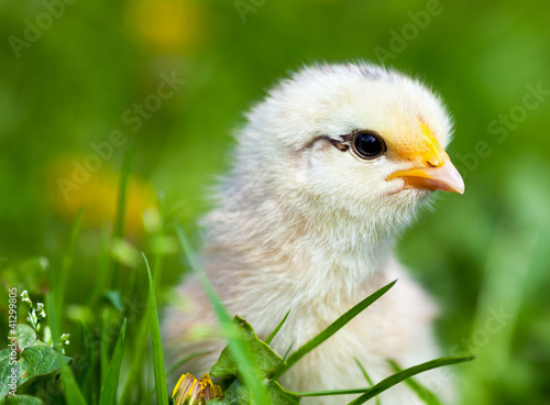 Cute baby chick in grass