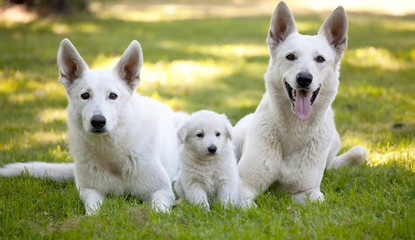 White Swiss Shepherds with little puppy