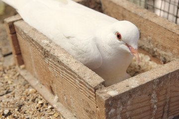 White dove in the nest