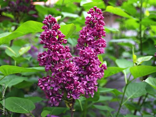 Foto op Canvas Lilac Syringa flowers