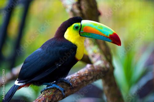 Foto op Plexiglas Toekan Tucan from Costa Rica